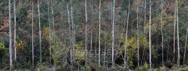 Vista panorâmica de troncos de árvores finas com folhagem outonal em florestas frias tranquilas — Fotografia de Stock