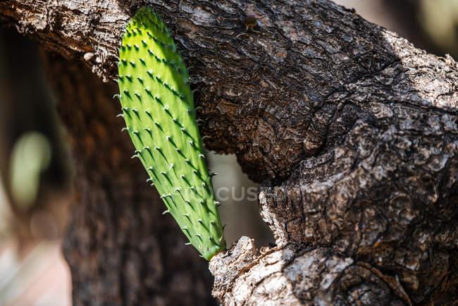 Nahaufnahme einer Baby-Kakteen-Pflanze auf einem Holzstamm — Stockfoto