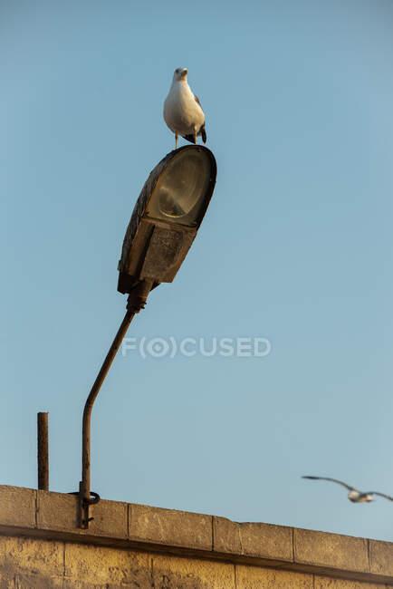 Pájaro gaviota encima de una vieja lámpara - foto de stock