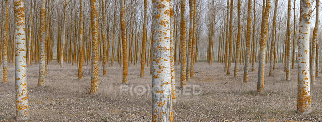 Tranquil empty woods with rows of bare trees in calm daylight — Stock Photo