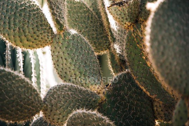 Close-up de planta de cacto espinhoso — Fotografia de Stock
