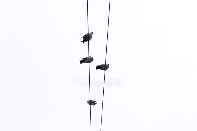 Group of birds sitting on cables — Stock Photo