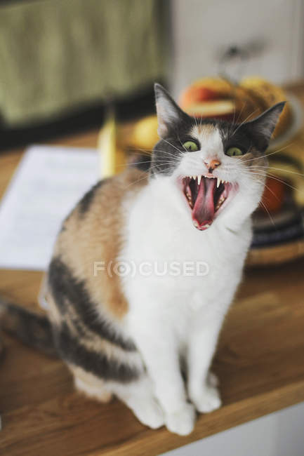 Cute cat staring at camera and meowing while sitting on wooden tabletop at home — Stock Photo