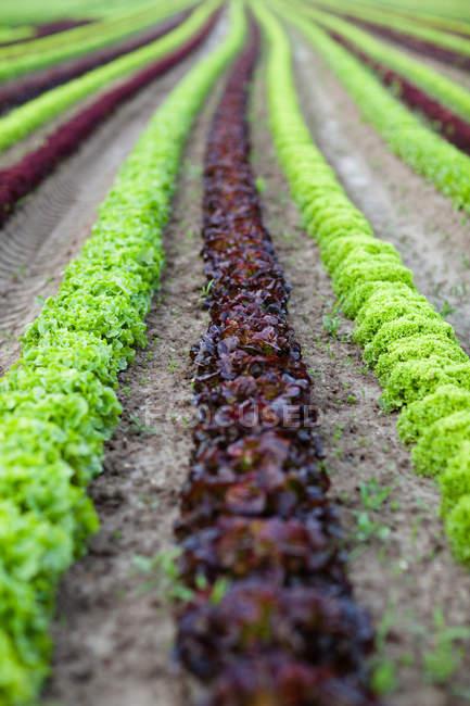 Linhas de alface colorido, crescendo no solo na fazenda — Fotografia de Stock