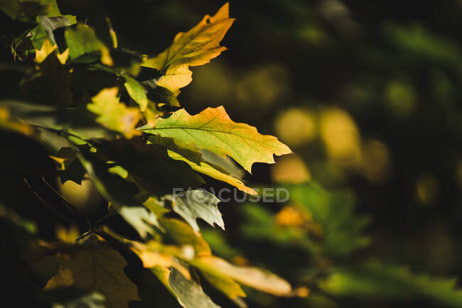 Pretty yellow leaves growing on tree branches on sunny autumn day — Stock Photo
