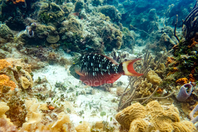 Colorful exotic fish near reef underwater — Stock Photo