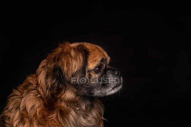 Piccolo cane marrone seduto su sfondo nero — Foto stock
