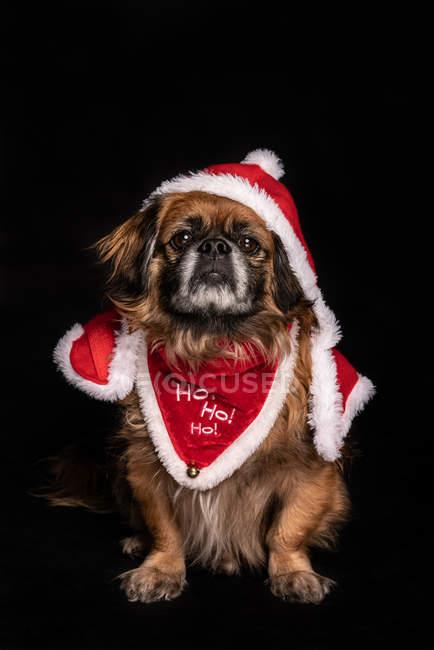 Маленькая собачка в смешном рождественском костюме сидит на черном фоне — стоковое фото