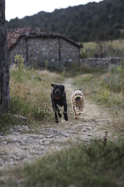 Собаки бегают в сельской местности — стоковое фото