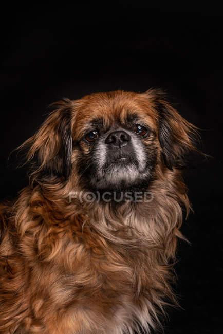 Piccolo cane marrone guardando la fotocamera su sfondo nero — Foto stock