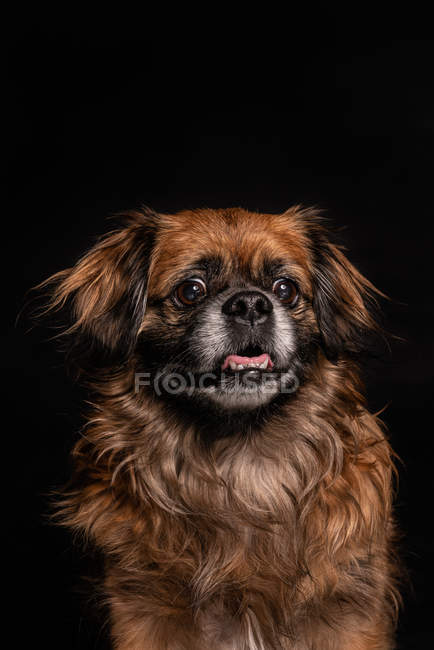 Kleinen braunen Hund mit Mund offen auf schwarzem Hintergrund — Stockfoto