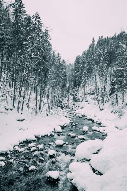 Rivière de montagne étroite courant entre la forêt de sapins des neiges en hiver en Allemagne — Photo de stock