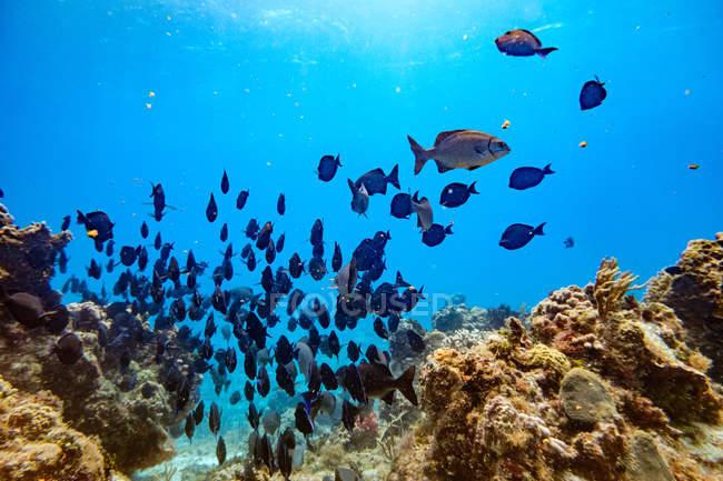 Крупный план группы рыб, плавающих в голубой воде между кораллами — стоковое фото