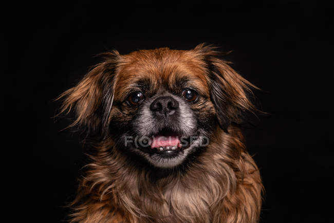 Little brown dog with mouth open on black background — Stock Photo