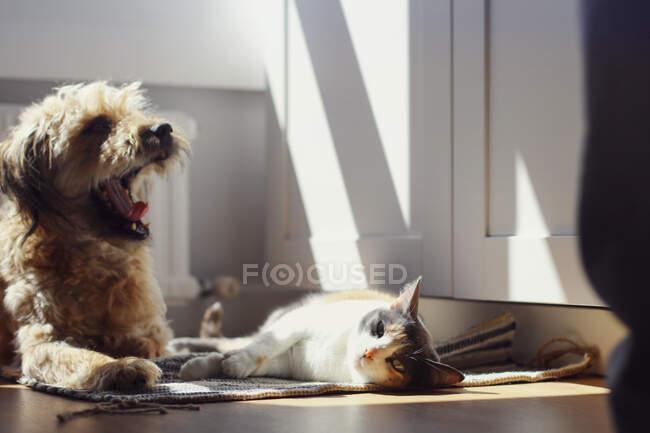 Ленивая кошка и зевающая собака лежат на коврике в солнечный день в уютной комнате дома — стоковое фото