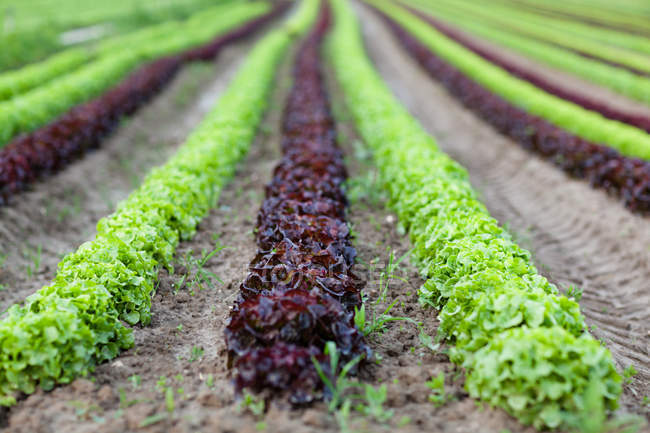 Rows of colorful lettuce growing in soil on farm — Stock Photo
