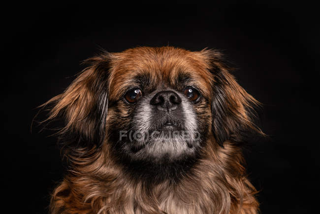 Little brown dog looking at camera on black background — Stock Photo