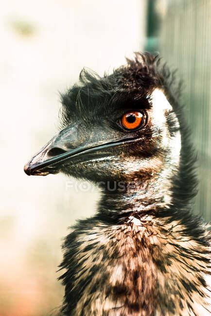 Jefe de divertido emu en el zoológico - foto de stock
