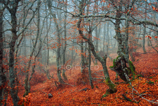 Beautiful trees with thin trunks growing in magnificent forest on foggy autumn weather — Stock Photo