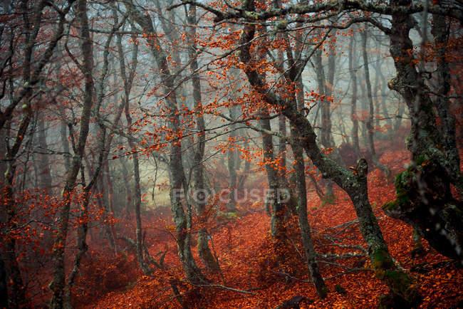 Hermosos árboles con troncos delgados que crecen en magnífico bosque en el clima de otoño nebuloso - foto de stock