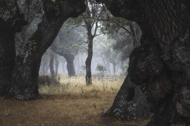 Belle forêt tranquille et vide avec de majestueux vieux arbres dans le brouillard — Photo de stock