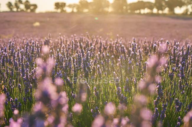 Декорація квітів лавандового поля в м'якій освітленості на заході сонця — стокове фото