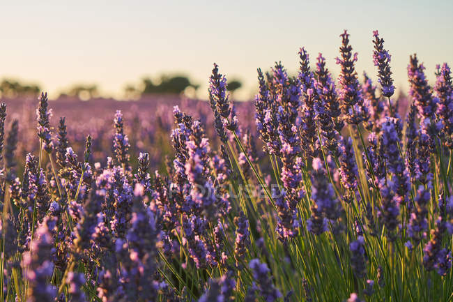Close-up of purple flowers in lavender field in countryside — Stock Photo