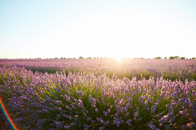 Велике Фіолетове поле лаванди квіти у підсвічуванням — стокове фото