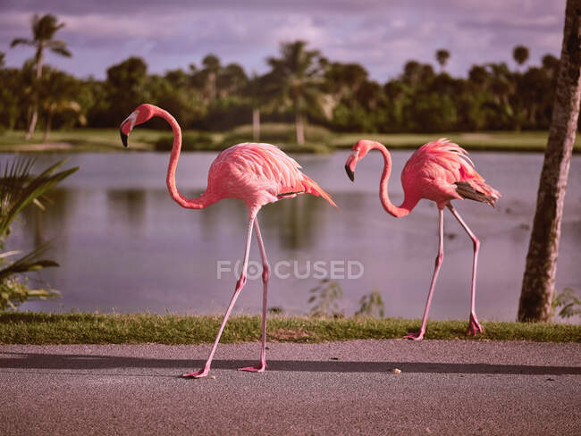 Side view of wonderful pink birds standing on walkway near tropical trees and water in sunny weather — Stock Photo