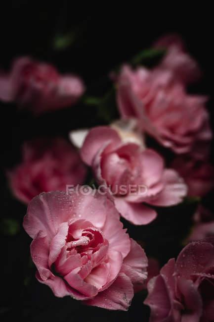 Свіжий букет з рожевих квітів гвоздики на темному тлі — стокове фото