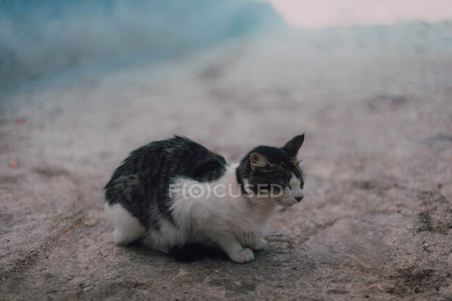 Homeless black and white fur cat sitting on road in Chefchaouen, Morocco — Stock Photo