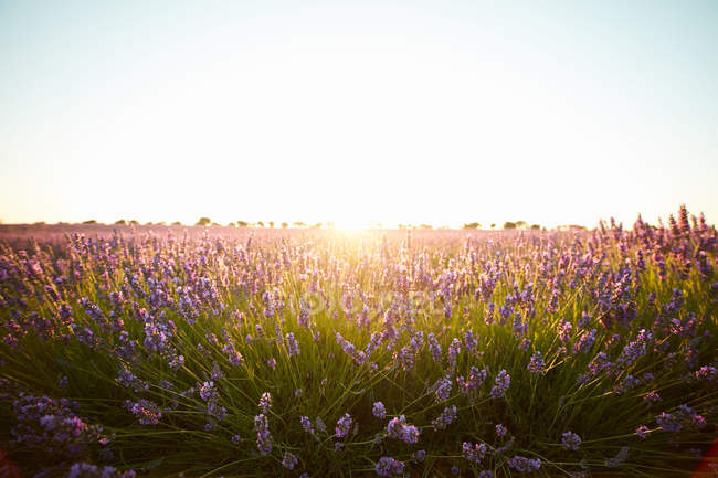 Big violet lavender field flowers in backlit — Stock Photo