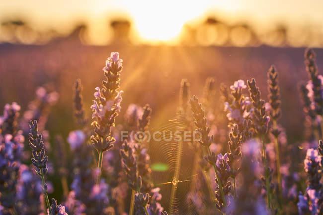 Primer plano de las flores moradas en el campo de lavanda en el campo al atardecer - foto de stock