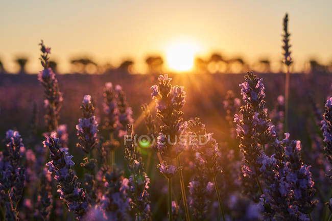Close-up of beautiful lavender flowers in field at sunset — Stock Photo