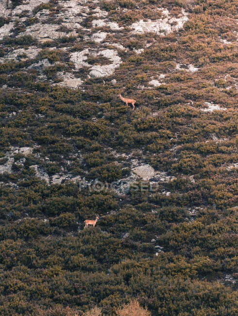 From above wild reindeer standing between green meadow in Isoba, Castile and Leon, Spain — Stock Photo