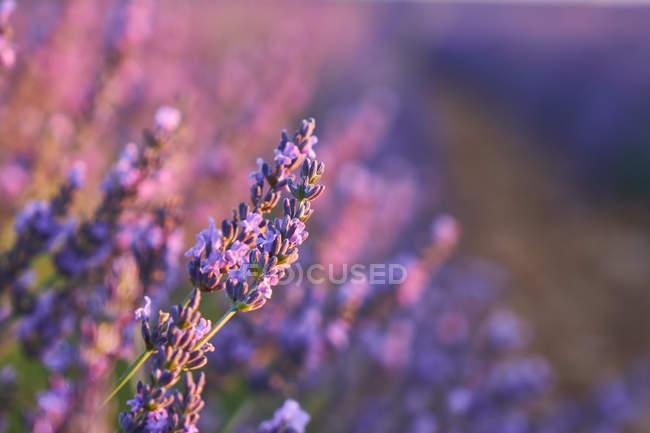 Крупним планом пурпурні квіти в полі лаванди в сільській місцевості — стокове фото