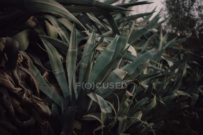 Big verdant cacti growing on hill — Stock Photo