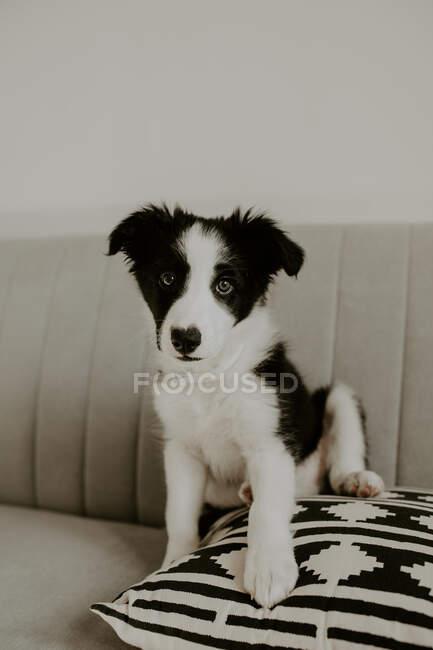 Очаровательный щенок смотрит в камеру, сидя на мягкой подушке на удобном диване дома — стоковое фото