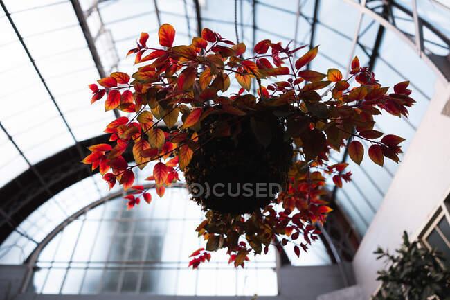 Dal basso pianta con fogliame rosso in crescita in un edificio moderno a Auckland, Nuova Zelanda — Foto stock