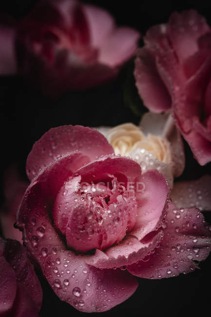 Fresh bouquet of pink carnations flowers on dark background — Stock Photo