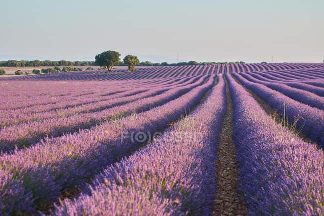 Pintorescas filas de vistas de hermosas flores moradas en el campo de lavanda y el cielo azul - foto de stock