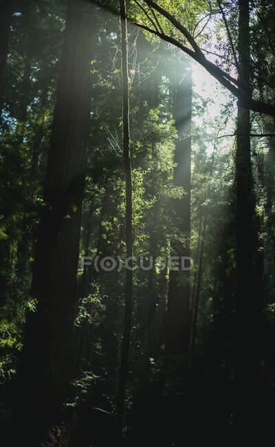 Alti alberi verdi nella foresta in estate — Foto stock