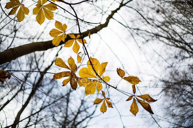 Folhas amarelas frágil crescendo no ramo da árvore, dia de outono cinza — Fotografia de Stock