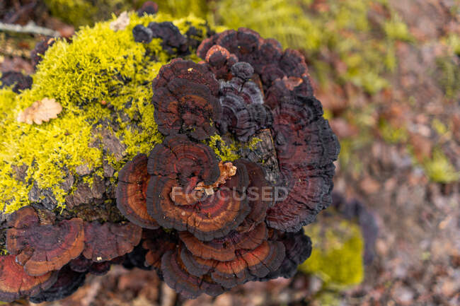 Closeup fresh moss and brown fungus growing on wood on blurred background of forest ground in Spain — Stock Photo