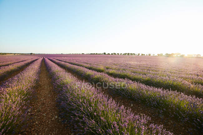 Big violet lavender field rows of flowers — Stock Photo