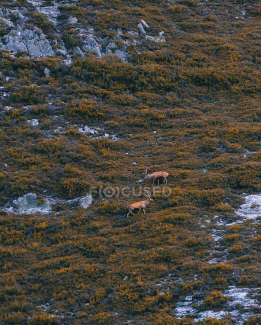 Сверху дикие северные олени стоят между зеленым лугом в Исобе, Кастилии и Леоне, Испания — стоковое фото