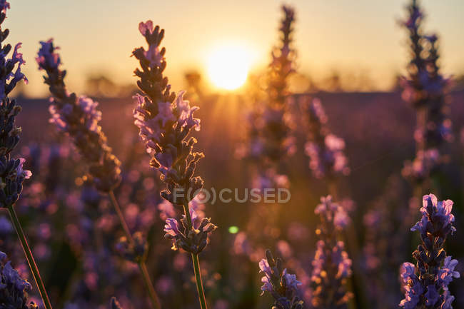 Крупним планом красивих фіолетових квітів на полі лаванди на світанку — стокове фото