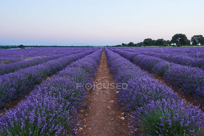 Big violet lavender field in evening light — Stock Photo