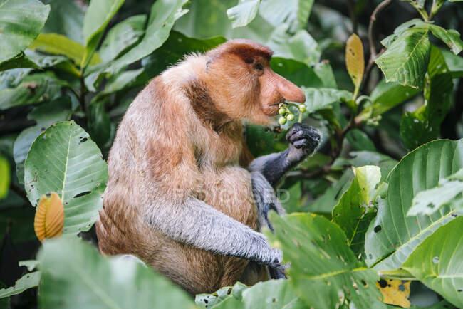 Proboscis singe assis entre des feuilles verdoyantes de bois dans la forêt tropicale en Malaisie — Photo de stock