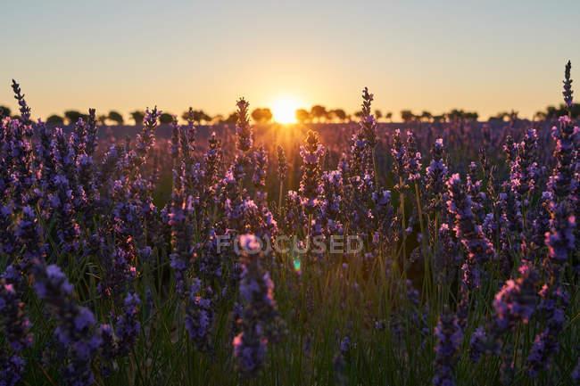 Flores en retroiluminación en campo de lavanda al atardecer - foto de stock